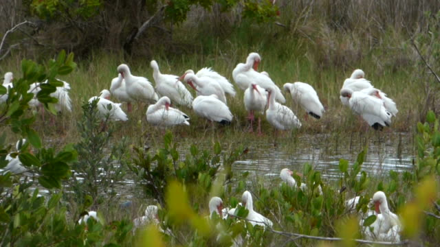 Closeup of a Flock of White Ibis in a Green Florida Wetland