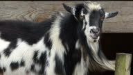 Closeup of a Large, Shaggy Black and White Goat Looking at the Camera and Chewing His Cud