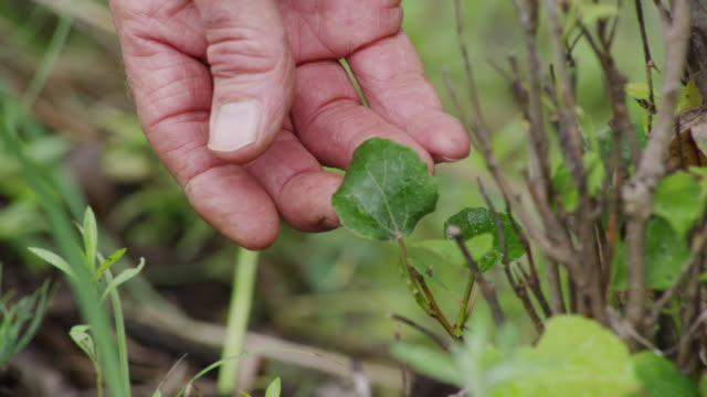 Closeup of a man's fingers holding an aspen leaf which is regenerating from a sapling which has been eaten by a deer.