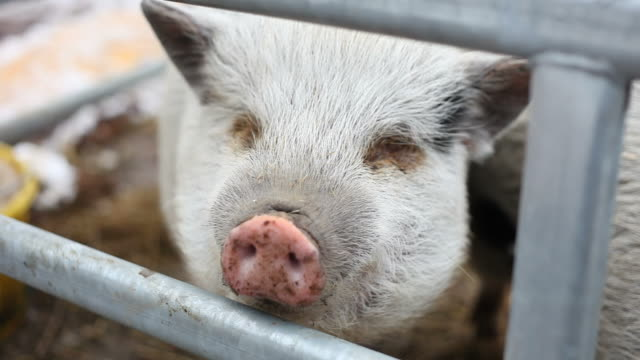 Close-up of a pig, (two clips)