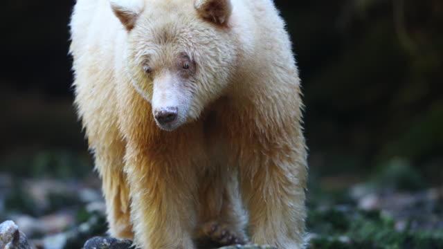 Close-up of a Spirit Bear (Ursus americanus kermodei) watching and chasing salmon
