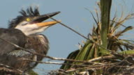 Closeup of a Wild-Eyed Heron Chick