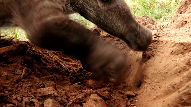 Close-up of Aardvark/African Ant bear(Orycteropus afer) feeding on termites