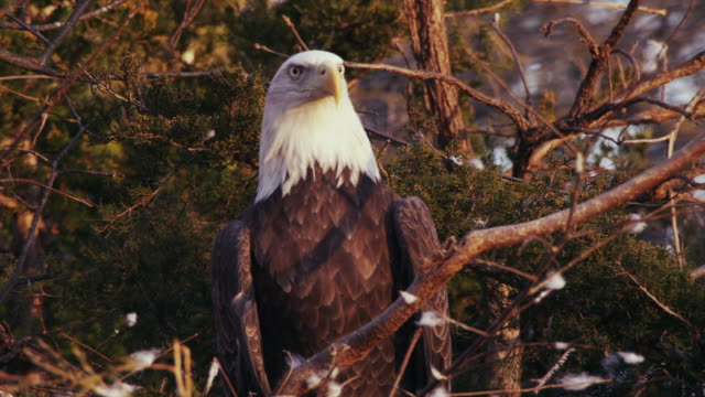 Close-up of American Bald Eagle sitting in a nest, turns head and looks around.