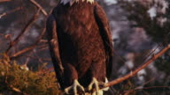 Close-up of American Bald Eagle sitting in a nest, turns head and looks around - talons can clearly be seen.