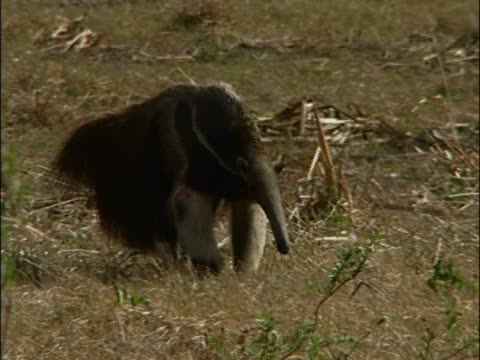 Close-up of an anteater