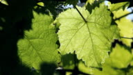 Closeup of beautiful green grapevine leaves