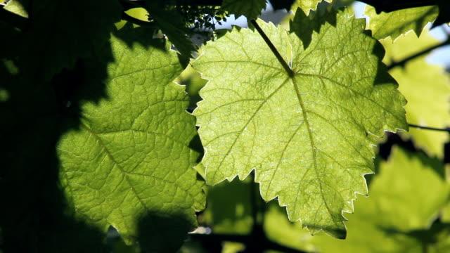 Closeup of beautiful green grapevine leaves