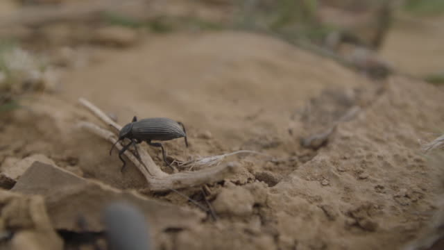 Closeup of beetles in the dirt
