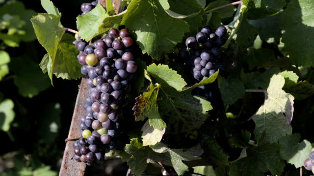 Close-up of black grapes growing on vine, Champagne vineyards