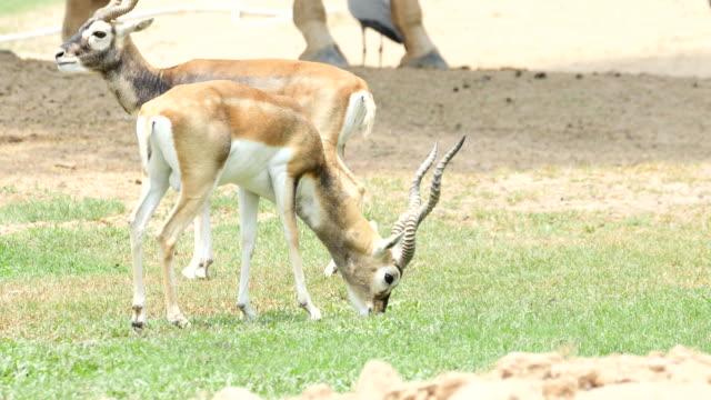 Close-Up of Blackbuck antelope Eating feeding on grass in field, 4K(UHD)