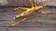 Close-up of Eastern Lubber Grasshopper in Everglades National Park, Florida