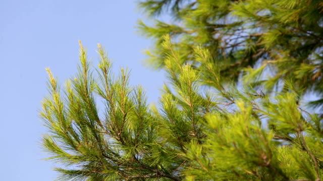 Closeup of fir tree