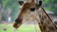 HD: Close-up of Giraffe