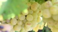 close-up of grape plantation