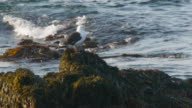 Close-up of Herring Gull on moss and seaweed-covered rocks with ocean waves behind, Maine coast, Otter Point, Acadia National Park