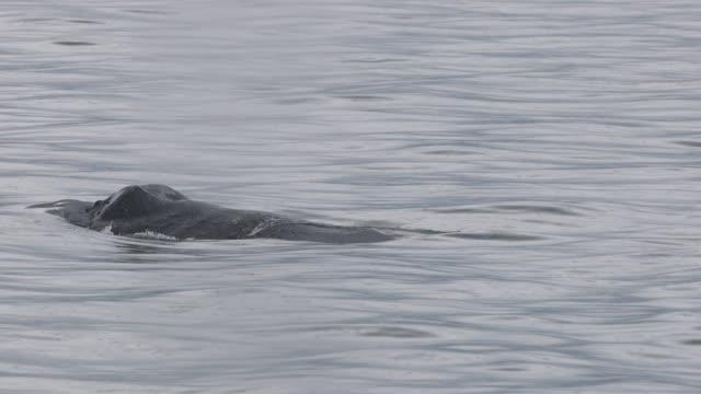 Closeup of Humpback Whale (Megaptera novaeangliae) blowhole exhaling in falling rain