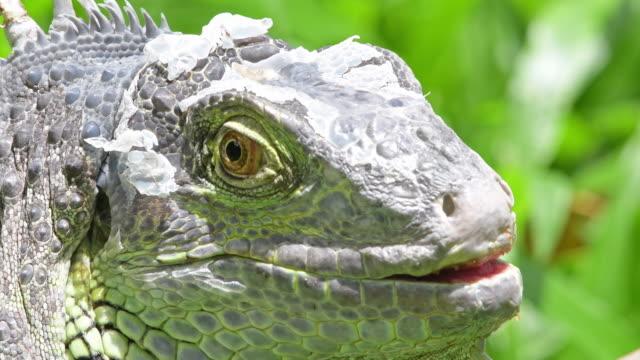 Close-up van Iguana