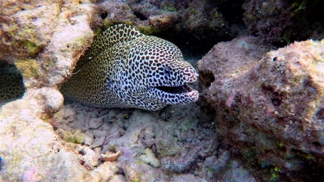 Close-up of Laced moray in a coral cave on Maldives