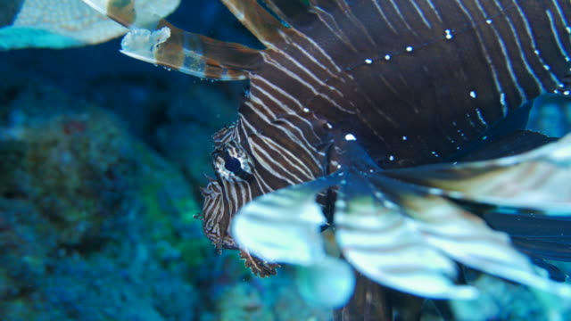 Närbild av lejon fisk i korallrev