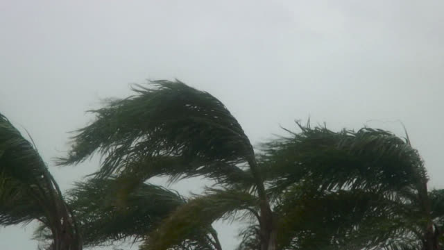 Close-up of palm trees blowing during hurricane.