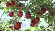 Close-up of red apples on the tree