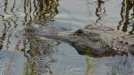 Close-up of resting Alligator in swamp, eye opens up, Aransas National Wildlife Refuge, Texas
