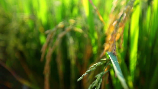 Close-up of ripe rice at sunset ,dolly shot