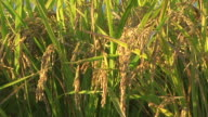HD: Close-up of ripe rice at sunset (video)