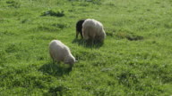 Close-up of sheep pasturing on grass