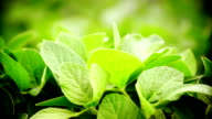 Closeup of soy plants.