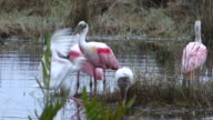 Closeup of Spoonbills and Ibis Flying Into a Wetlands