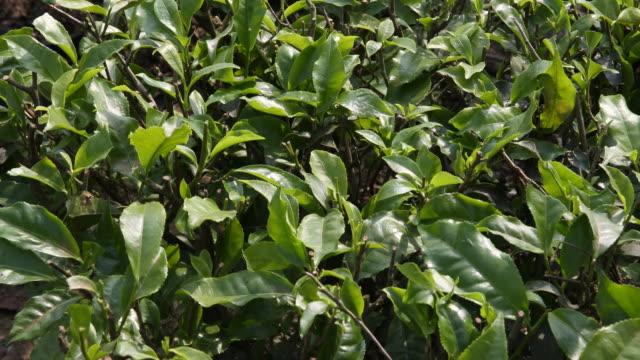 Close-up of tea plants on tea plantation near Siliguri, India