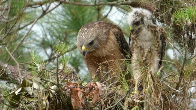 Nahaufnahme der Eltern Hawk Rissen Stücke Fleisch und bietet es einem Chick während die anderen Uhren