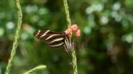 Primo piano di vista bianco e nero di una farfalla di alimentazione su rosa Porterweed, la sua Probiscus pieno di polline