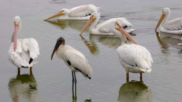 Closeup of White Pelicans and a Stork