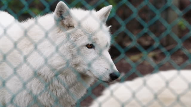 Close-up of white wolves in shelter