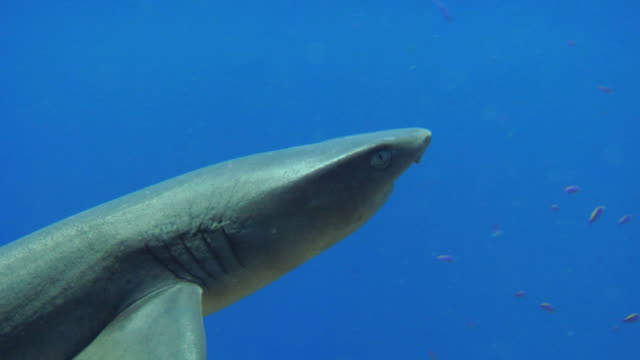 / closeup of whitetip reef shark undulating back and forth as it swims out of frame to right