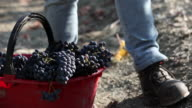 Close-up of woman putting grapes into basket in vineyard