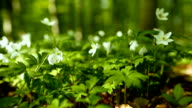 Close-up of Wood Anemone