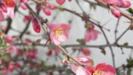 Closeup on bouquet of quince blossoms