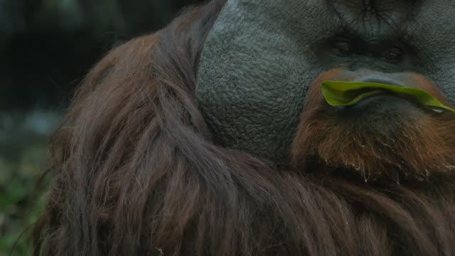Close-up on Orangutan