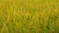 close-up panning : harvest rice and mature field in sunset
