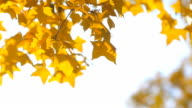 close-up panning: yellow maple arch