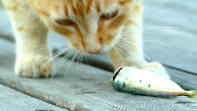 Nahaufnahme - rote Katze essen frisch gefangenen Fisch