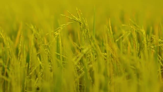 close-up : rice field in urban scene under low light.