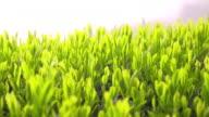 Close-up shot: Tea leaves in a tea field in the Ryogo-uchi area, Shizuoka, Japan