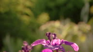 Close-up tilt down to a purple iris in a botanical garden.