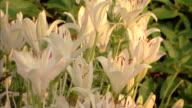 Close-up tilt up of backlit white lilies in a botanical garden.
