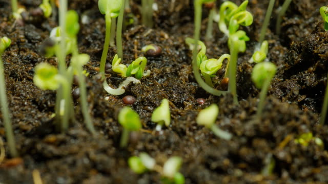 close-up timelapse : green bean sprouts initially grow in dry and wet condition